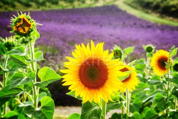 ヒマワリ ラベンダー畑 ラベンダー 新鮮な 花 フィールド ストックフォト © neirfy