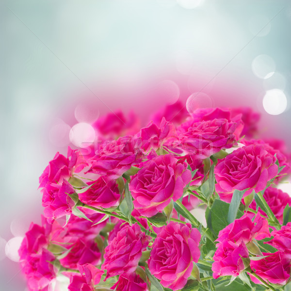 bush of pink roses Stock photo © neirfy