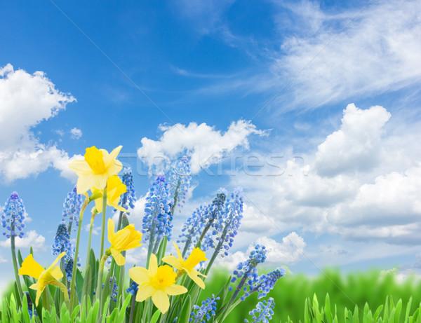 Voorjaar narcissen blauwe hemel Pasen gras abstract Stockfoto © neirfy
