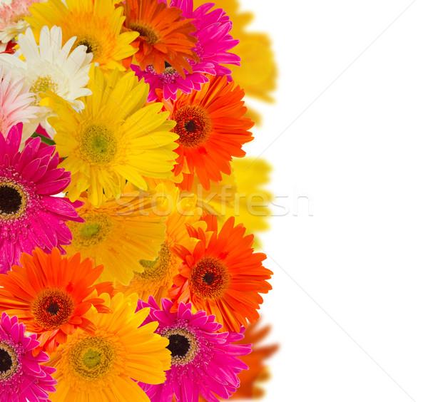 herbera flowers border Stock photo © neirfy