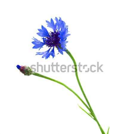 blue corn flower Stock photo © neirfy