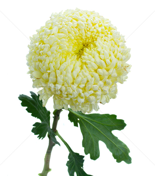 Een chrysant bloem geïsoleerd witte natuur Stockfoto © neirfy
