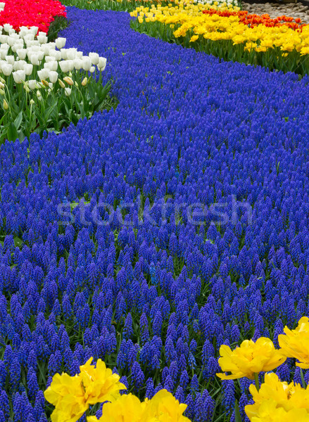 Azul río flores Holanda jardín flores de primavera Foto stock © neirfy