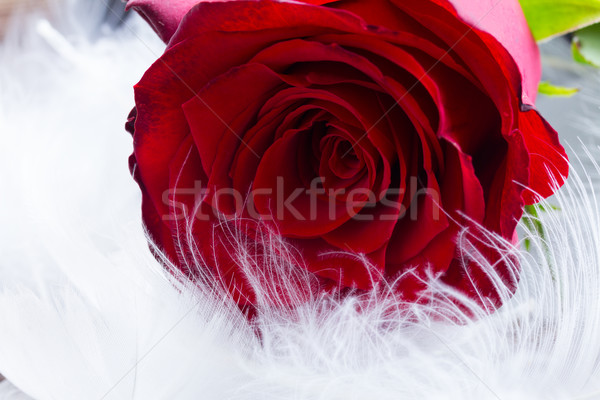 Kırmızı gül kadife taze kırmızı gül çiçek tomurcuk Stok fotoğraf © neirfy