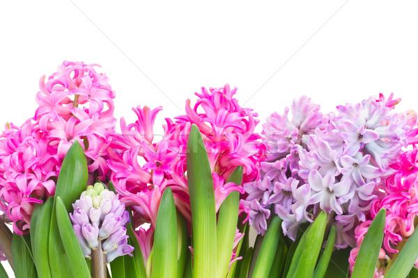 Rosa violeta fronteira isolado branco primavera Foto stock © neirfy