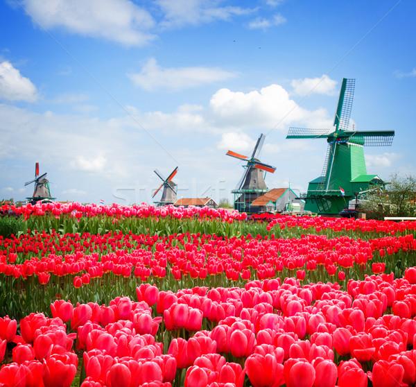Nederlands windmolen tulpen veld kanaal groeiend Stockfoto © neirfy