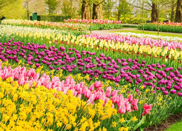 Fleurs du printemps parterre de fleurs jaune rose violette Photo stock © neirfy