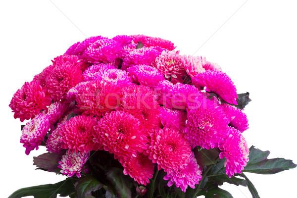 blue chrysanthemum flowers Stock photo © neirfy