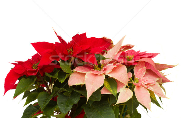Poinsettia flower - christmas star Stock photo © neirfy