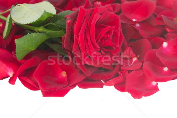 Frischen hochrot rote Rose Blütenblätter Grenze isoliert Stock foto © neirfy