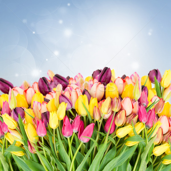 Stock photo: Bunch of fresh tulips flowers  close up