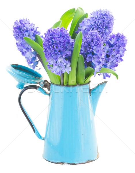 Azul jacinto flores pote isolado branco Foto stock © neirfy