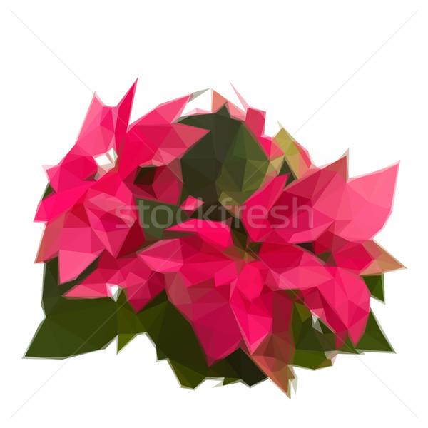 garden with poinsettia flowers or christmas star Stock photo © neirfy