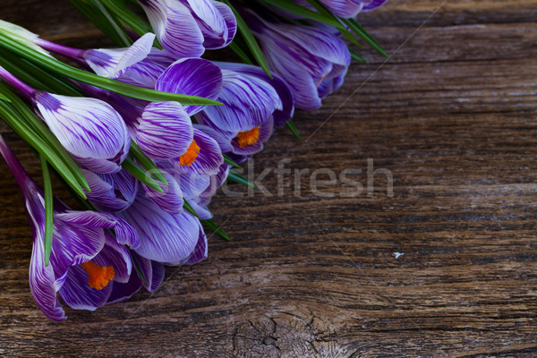 Violet crocus flowers Stock photo © neirfy