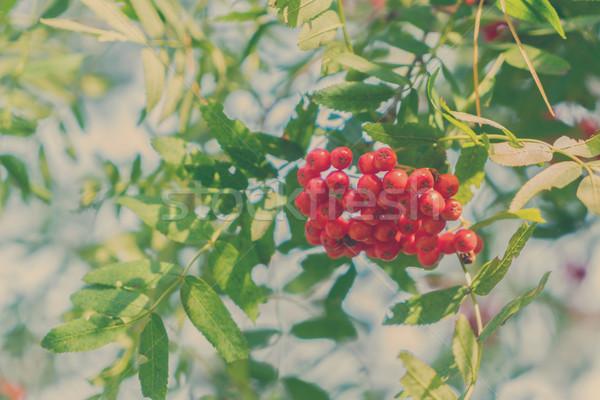 Bogyók levelek piros friss zöld levelek kék ég Stock fotó © neirfy
