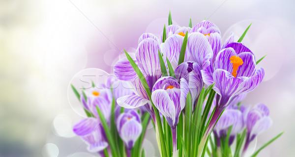 Violeta açafrão flores cinza primavera bokeh Foto stock © neirfy