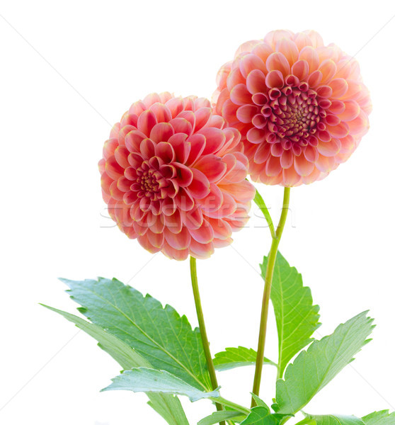 Dalia kwiaty bukiet różowy odizolowany biały Zdjęcia stock © neirfy