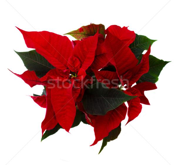 red poinsettia flower -  christmas star Stock photo © neirfy