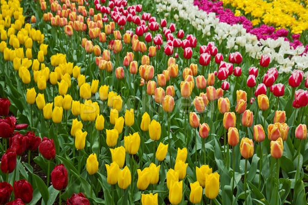 Stockfoto: Holland · tulpen · veld · tuin · bloem · voorjaar