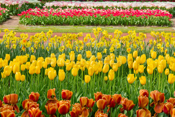 holland tulips field Stock photo © neirfy