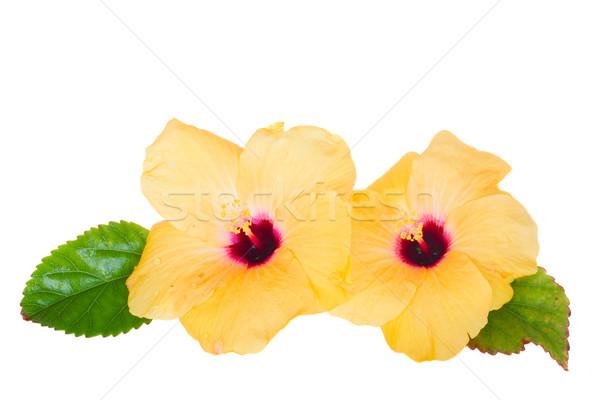 Iki sarı ebegümeci çiçekler yalıtılmış beyaz Stok fotoğraf © neirfy