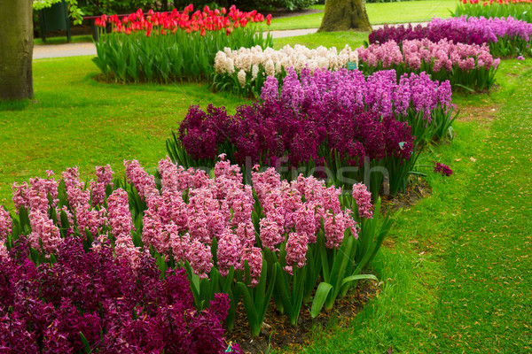 ヒヤシンス バイオレット 花 庭園 オランダ ストックフォト © neirfy