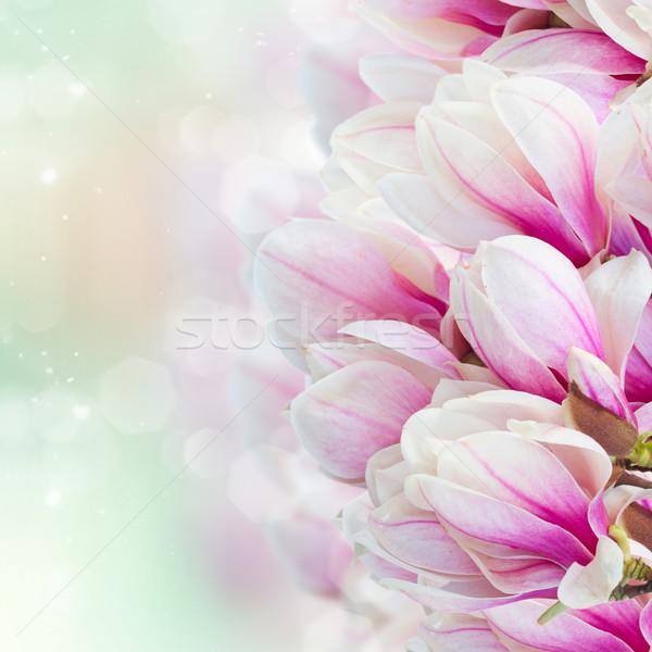 Pembe manolya ağaç çiçekler Stok fotoğraf © neirfy