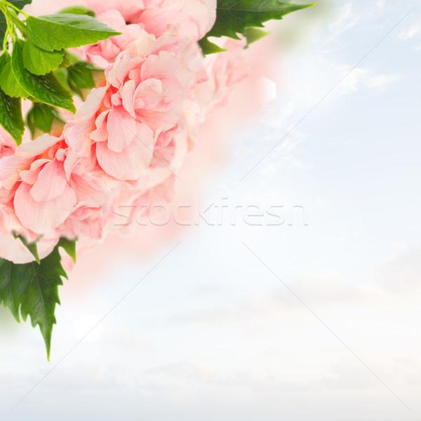 Keret színes hibiszkusz virágok rózsaszín dupla Stock fotó © neirfy
