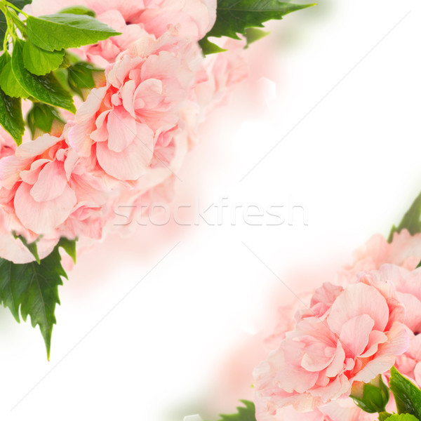 Sınır renkli ebegümeci çiçekler pembe çift Stok fotoğraf © neirfy