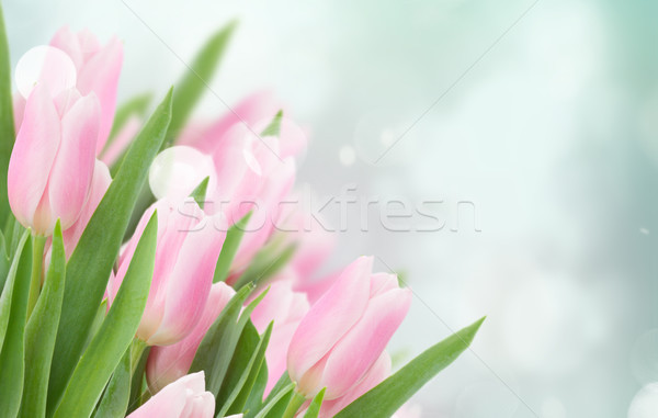 close up of pink tulips Stock photo © neirfy