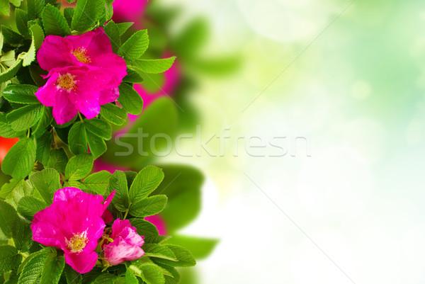 dog roses garden Stock photo © neirfy