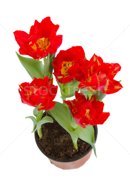 red tulips in pot Stock photo © neirfy