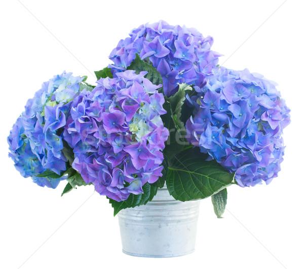 posy   of blue hortensia flowers Stock photo © neirfy