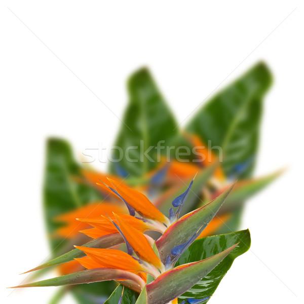 Strelitzia flowers Stock photo © neirfy