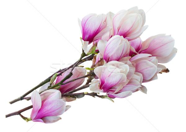 розовый магнолия дерево цветы Сток-фото © neirfy