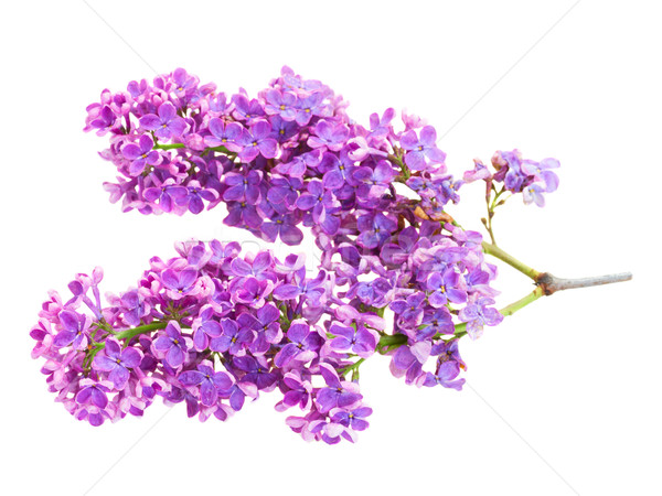 Frescos lila almuerzo violeta flores Foto stock © neirfy