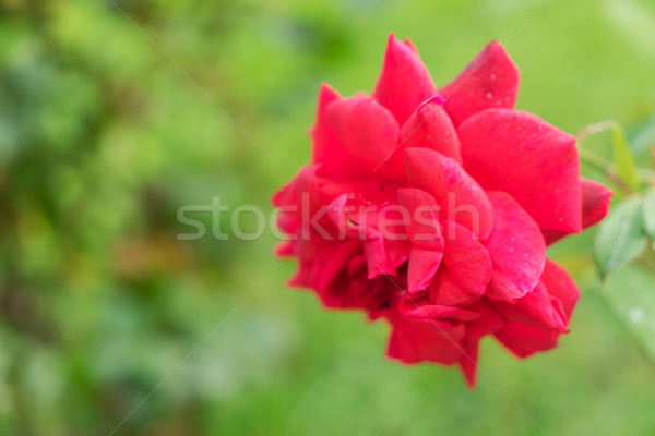 Red blooming rose Stock photo © neirfy