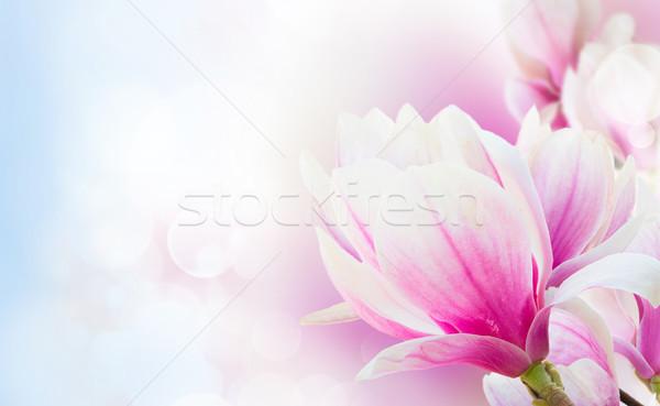 Roze magnolia bloemen takje Stockfoto © neirfy
