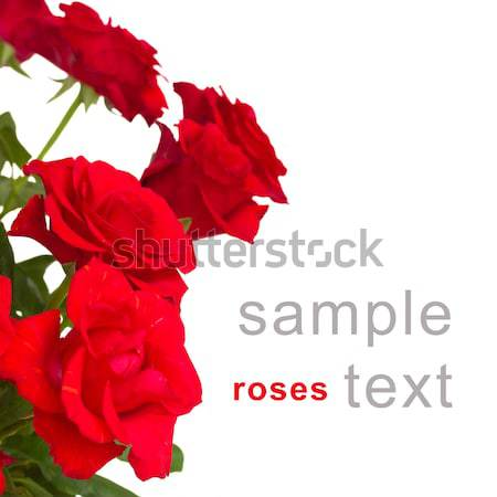 fresh red  roses border Stock photo © neirfy