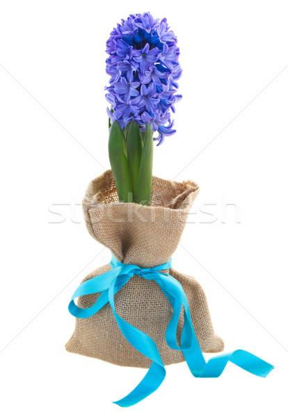 Jeden niebieski hiacynt kwiaty odizolowany biały Zdjęcia stock © neirfy