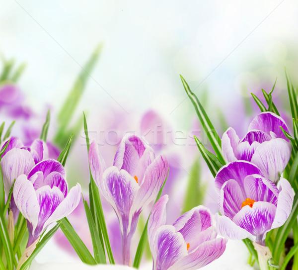 Zdjęcia stock: Wiosną · śniegu · kwiaty · bokeh · Wielkanoc · niebo