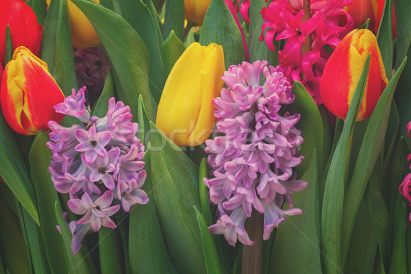 Tulipas rosa violeta retro primavera Foto stock © neirfy