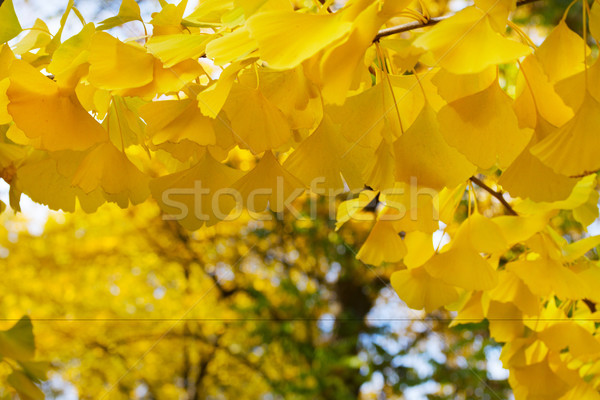 Foto stock: Vibrante · caída · follaje · amarillo · dorado · árbol