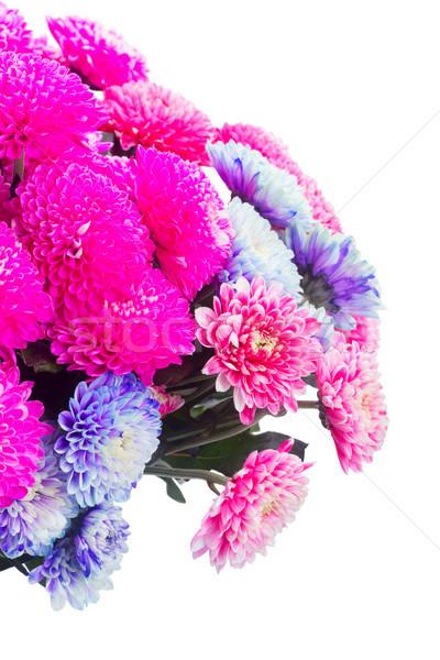 Blauw chrysant bloemen roze geïsoleerd Stockfoto © neirfy