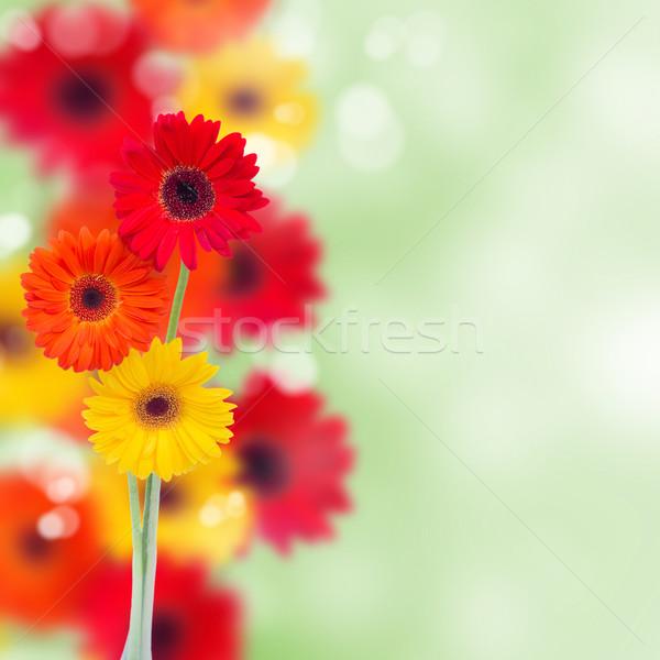 herbera flowers background Stock photo © neirfy