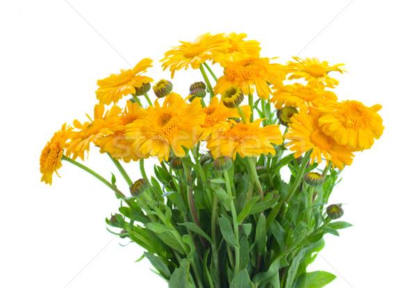 Photo stock: Fleurs · jaune · isolé · blanche · jardin · fond