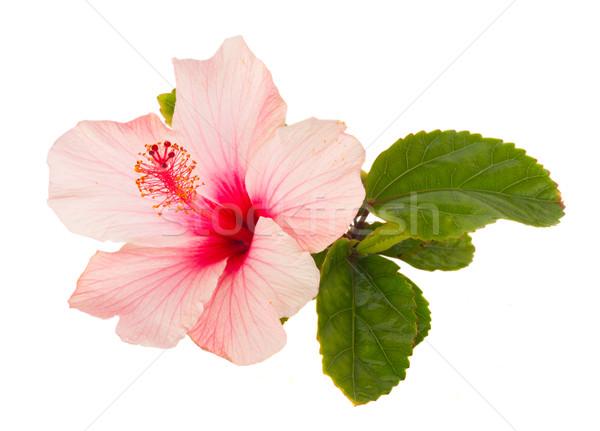 Stok fotoğraf: Pembe · ebegümeci · çiçekler · çiçek · yeşil · yaprakları · yalıtılmış