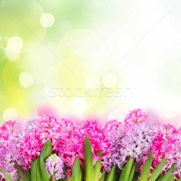 Rosa violeta flores verde jardim Foto stock © neirfy