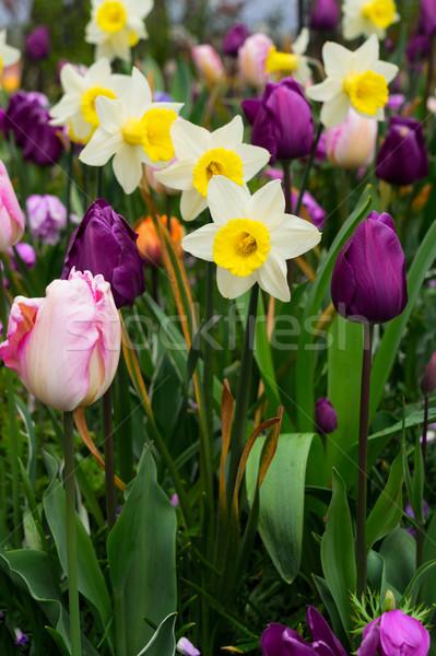 Stockfoto: Narcissen · tulpen · vers · witte · voorjaar · groeiend