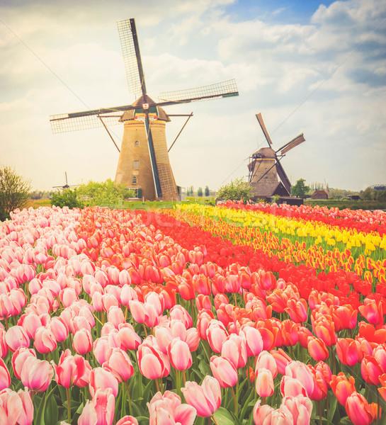 Nederlands wind twee traditioneel tulpen Stockfoto © neirfy